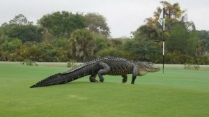 Giant-Godzilla-15-foot-alligator-Florida-Golf-Course